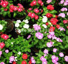 Resultado de imagem para madagascar periwinkle plant