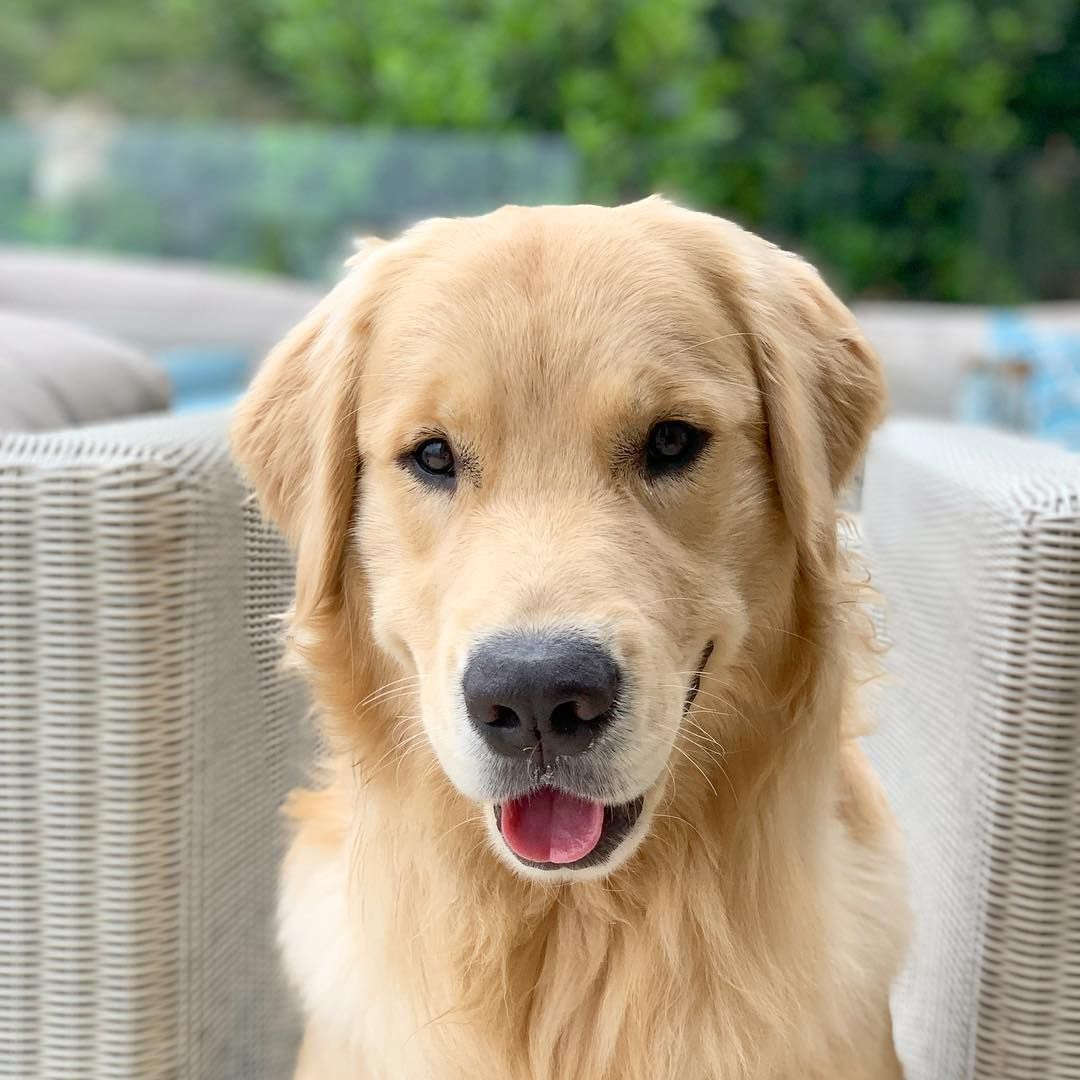 Golden Retrievers Dogs On Instagram That Face With
