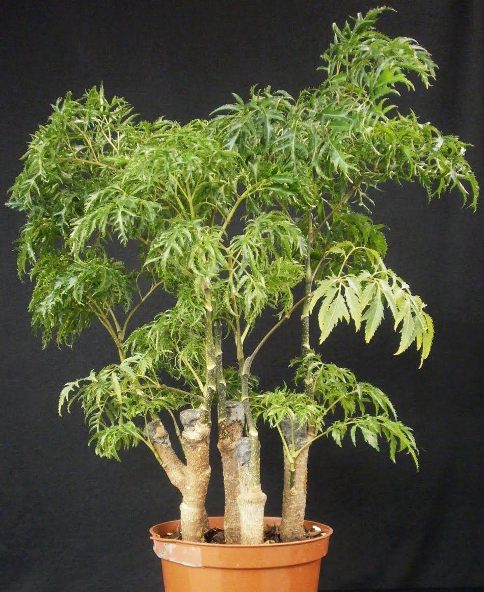 Polyscias Fruticosa Garden Pinterest Ficus Tree