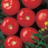 Mountain Fresh Plus Tomato pk/20 #tomatenpflanzen