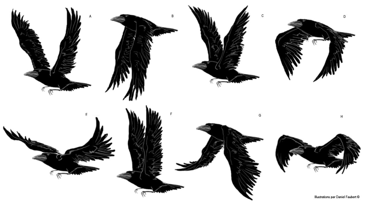 Recompose Le Mouvement Du Vol Corbeau En Placant Les ...  Recompose Le Mo...