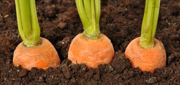 طريقة زراعة الجزر Vegetables Carrots Agriculture