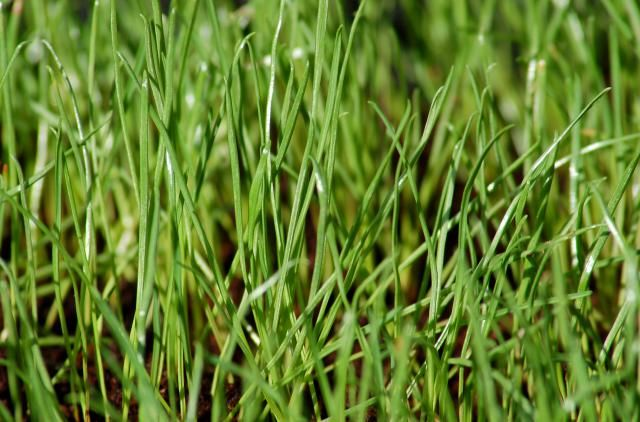 Learn The Difference Between Annual And Perennial Ryegrass Winter Rye Rye Grass Winter Lawn Perennial Ryegrass
