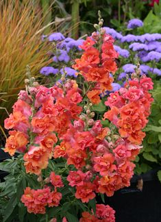 Double Azalea Apricot Snapdragon- THREE FEET in height and is doubled flowered, I have some in my yard, love them!