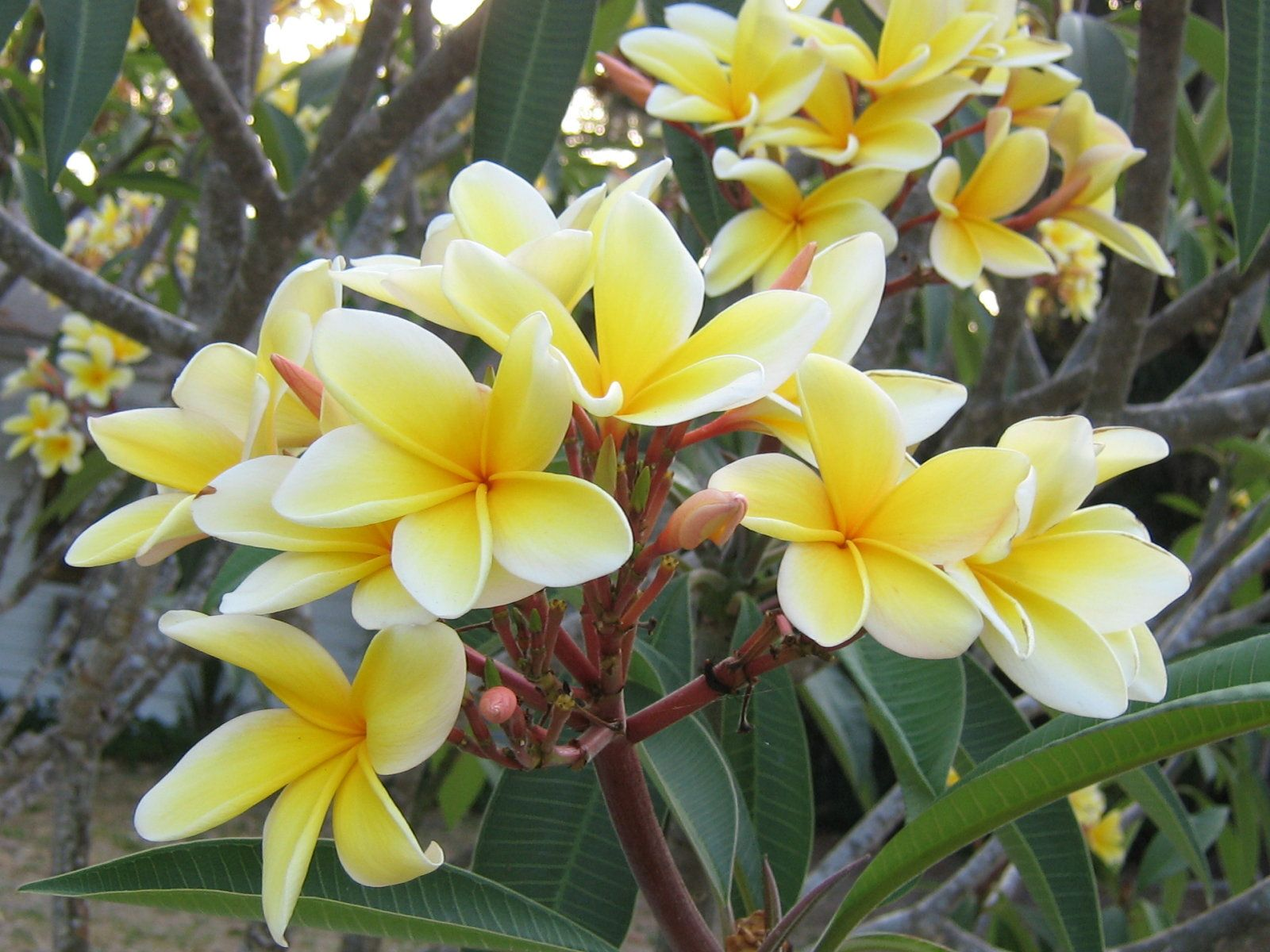 Everything about plumeria flower flower flower pictures and everything about plumeria flower izmirmasajfo Images