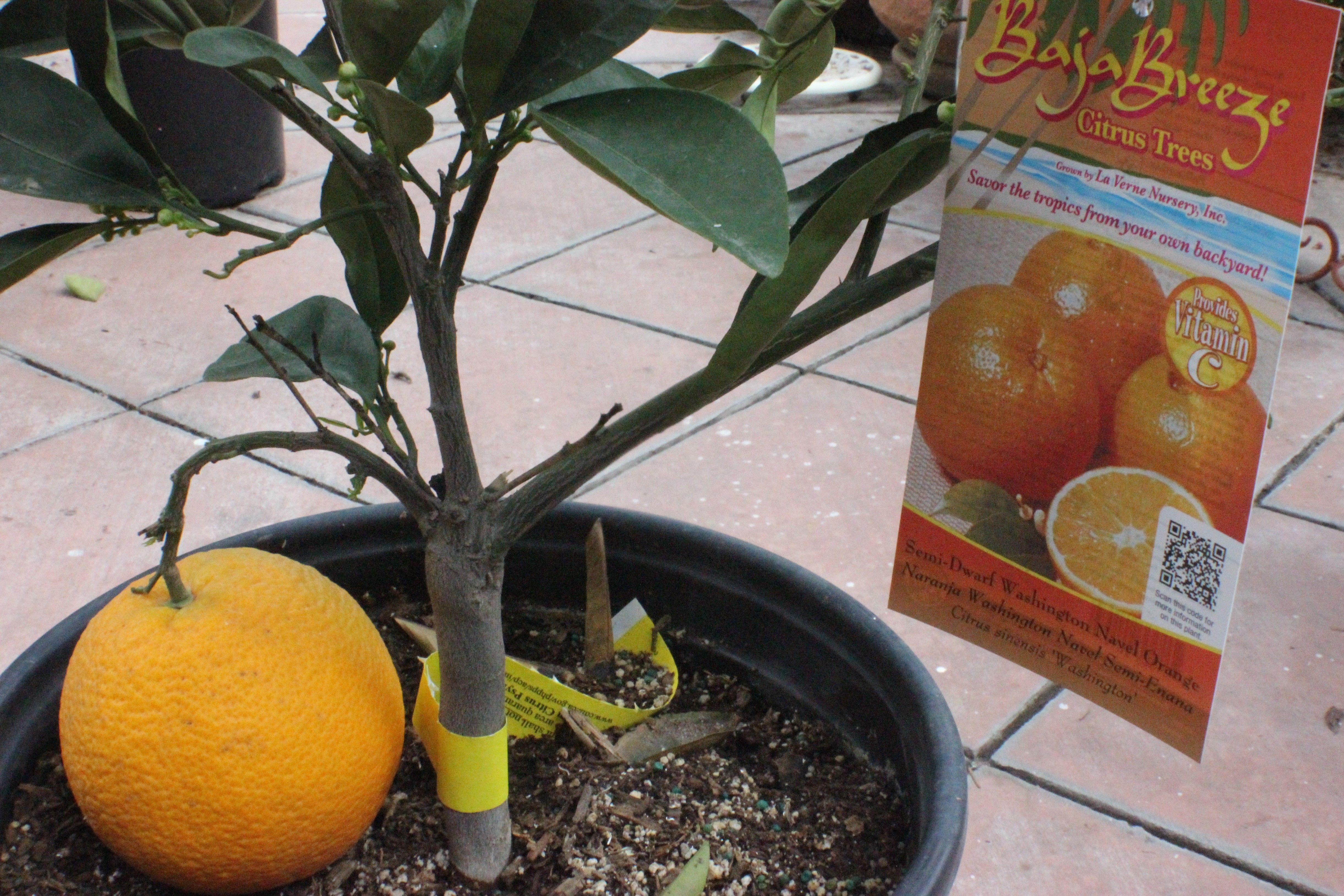 Semi Dwarf Washington Navel Orange Tree Citrus