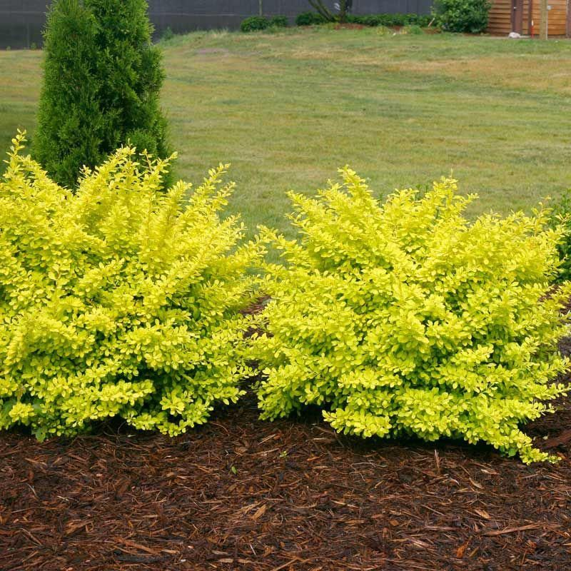 Easy Landscaping Ideas You Can Try: Berberis Sunjoy® Citrus