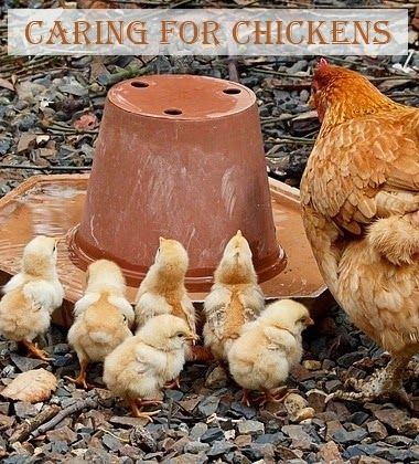 Caring For Chickens - Once you've got your coop set up ...