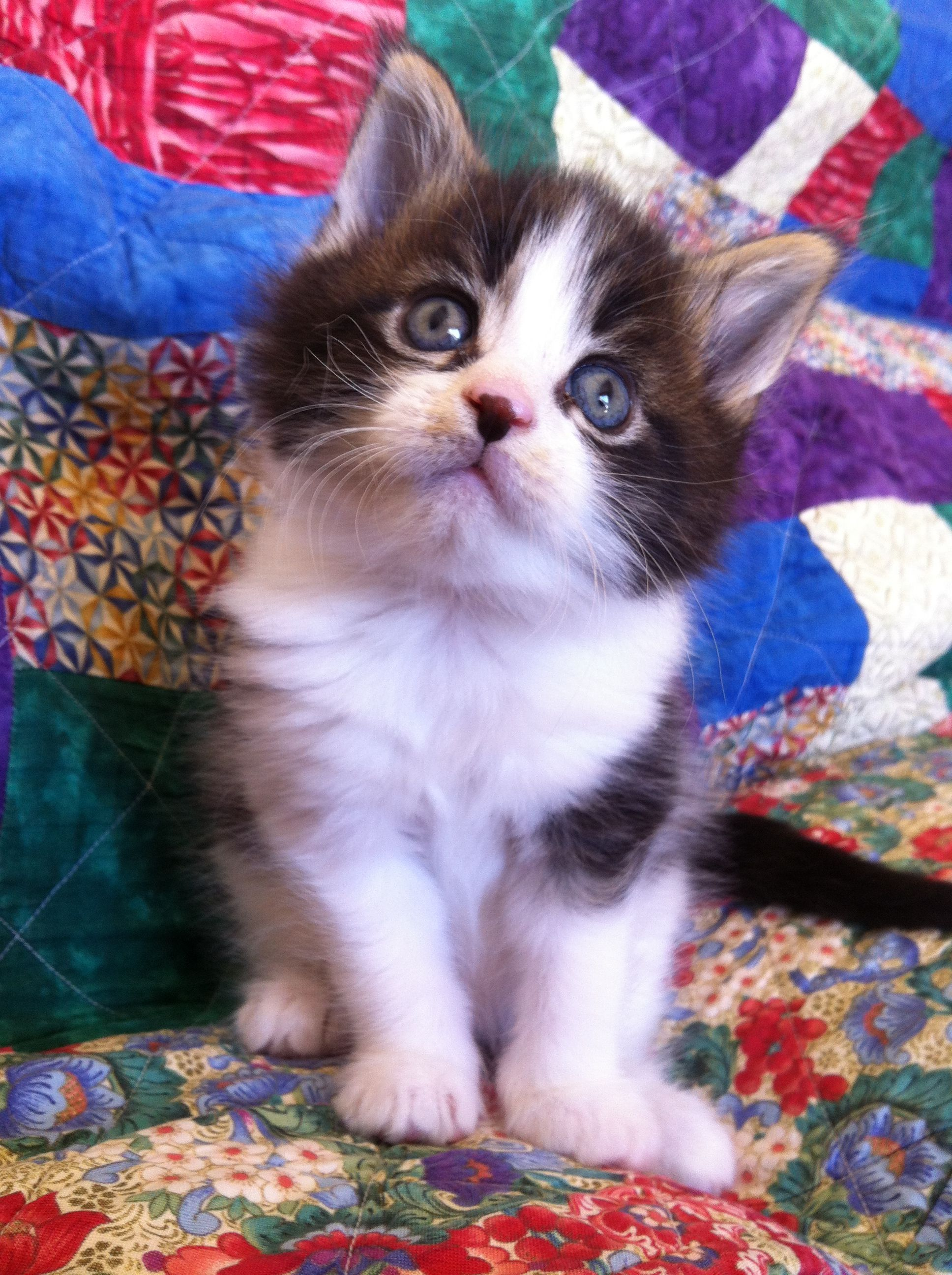 MannCoons Cattery Maine Coon Cats & Kittens for sale