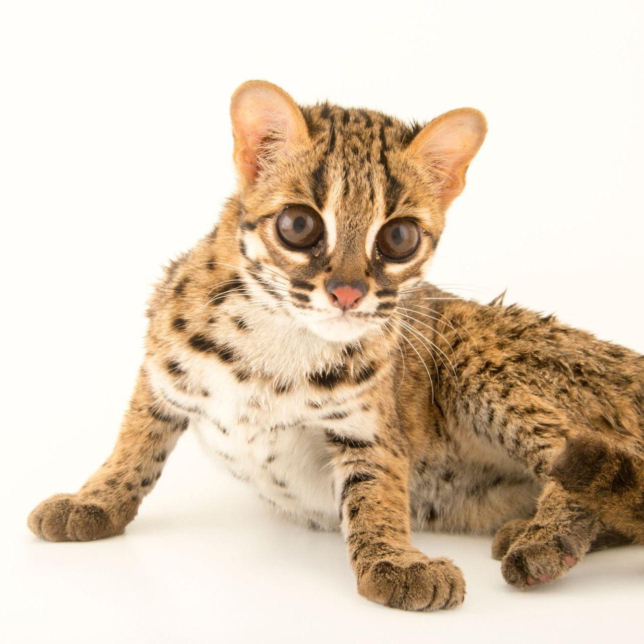 Pin by maxinjo on small wild cats Small wild cats, Cats