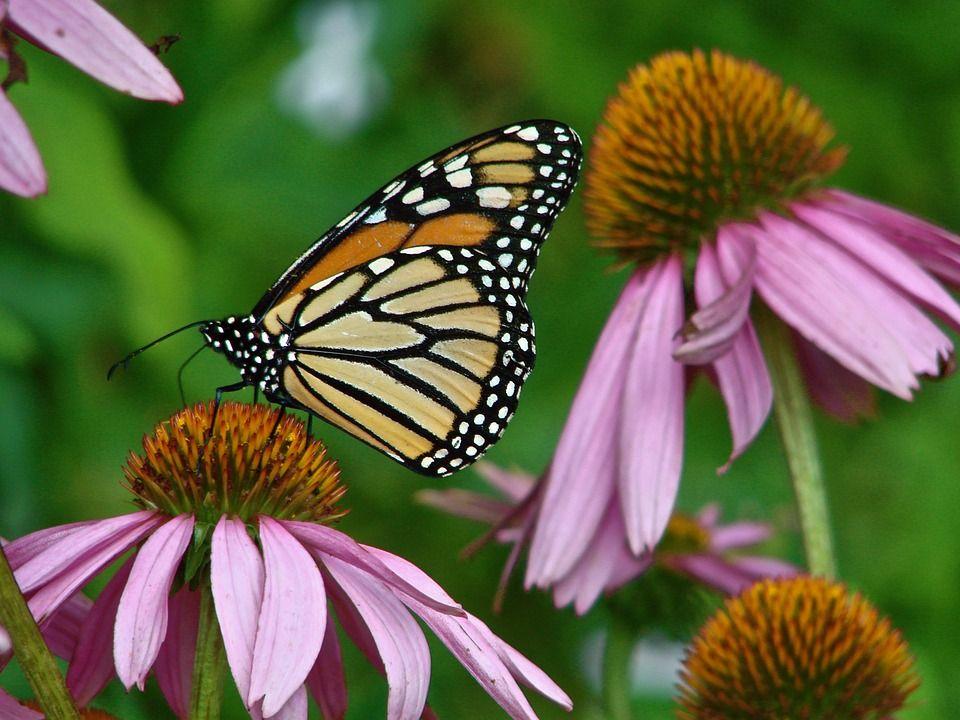 Echinacea purpurea attracts butterflies | Types of ...