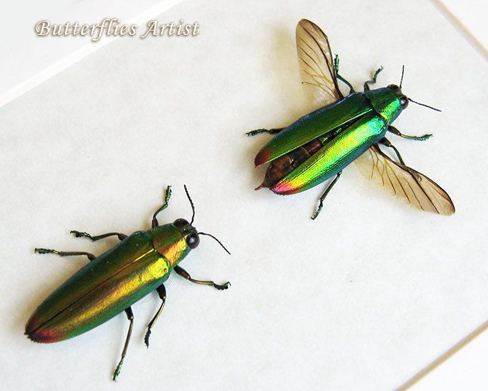 Stunning Set Chrysochroa Fulminans Green Purple Jewel Real