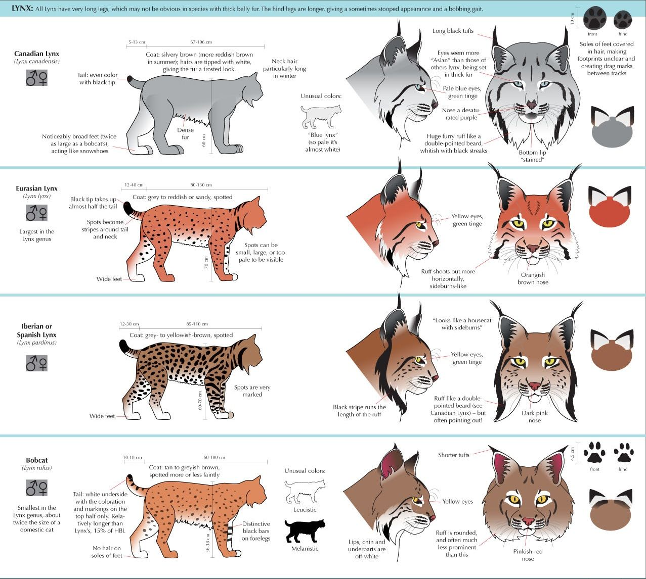 drawing Illustration cats feline art reference how to draw Animal ...