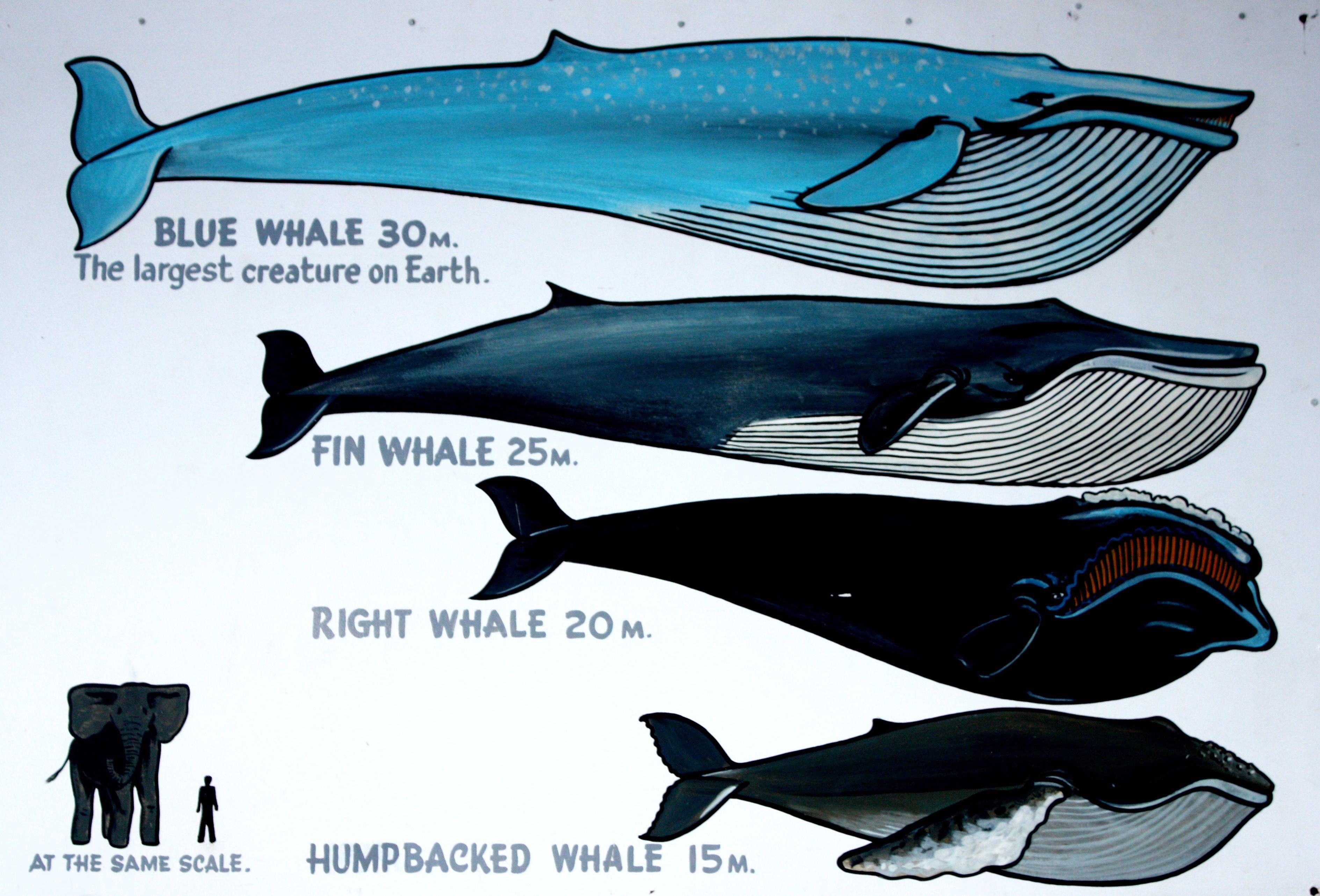 все виды китообразных картинки модели для экономии
