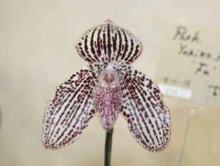 世界らん展日本大賞2008 パフィオペディルム 多花性種 Japan Grand Prix International Orchid Festival 2008 Paphiopedilum Multiflora