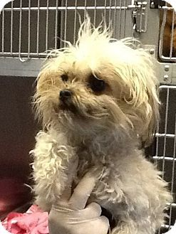 Seattle Wa Brussels Griffon Maltese Mix Meet Darla A Dog For