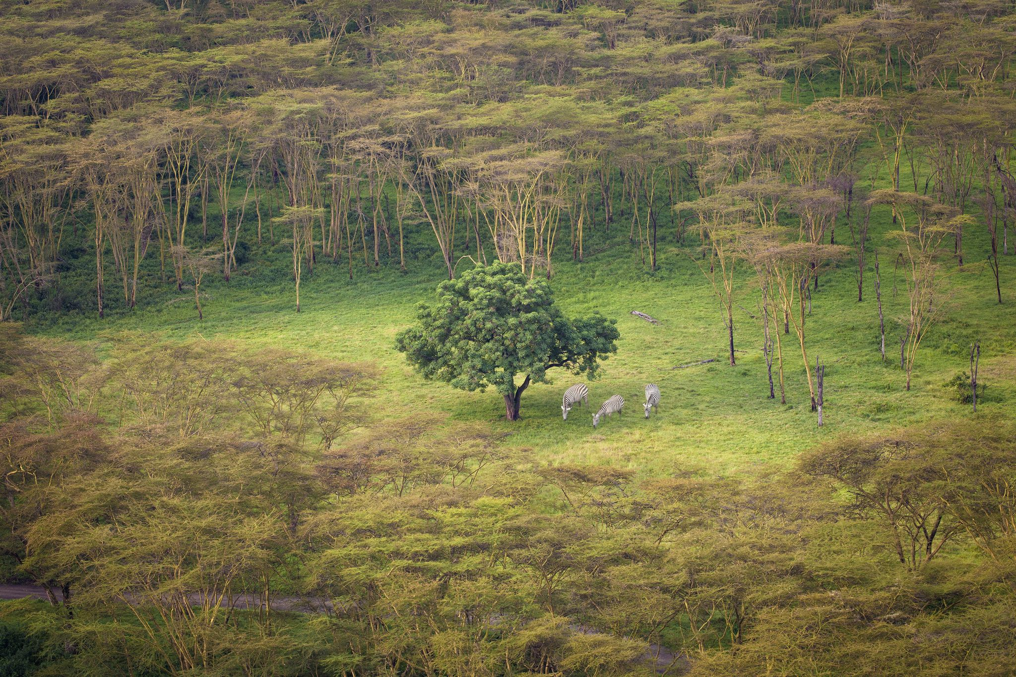 https://flic.kr/p/dSvkJR | Lonely Tree | Three zebras enjoying the grass in a clearing. This was taken from Baboon Cliff in Lake Nakuru National Park in Kenya.