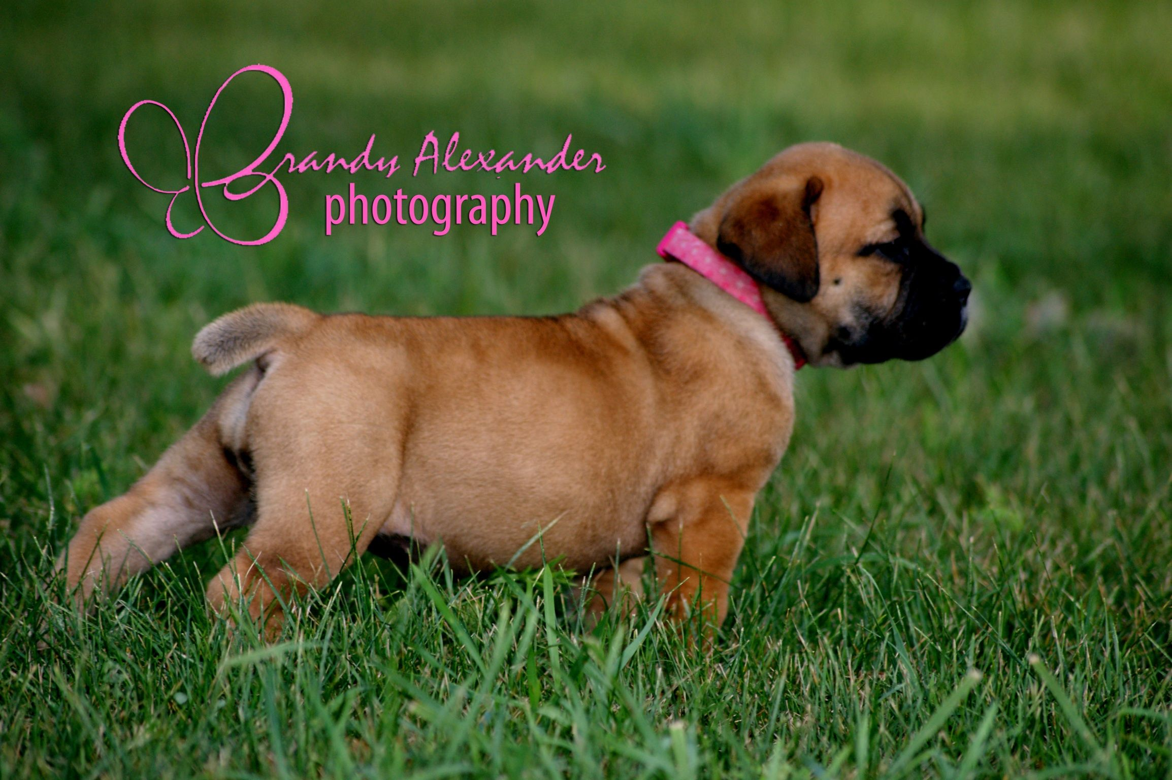 Boerboel Puppy Michigan Www Greatlakesboerboels Com Www Brandyalexanderphotography Com Boerboel Puppies Cute Puppies
