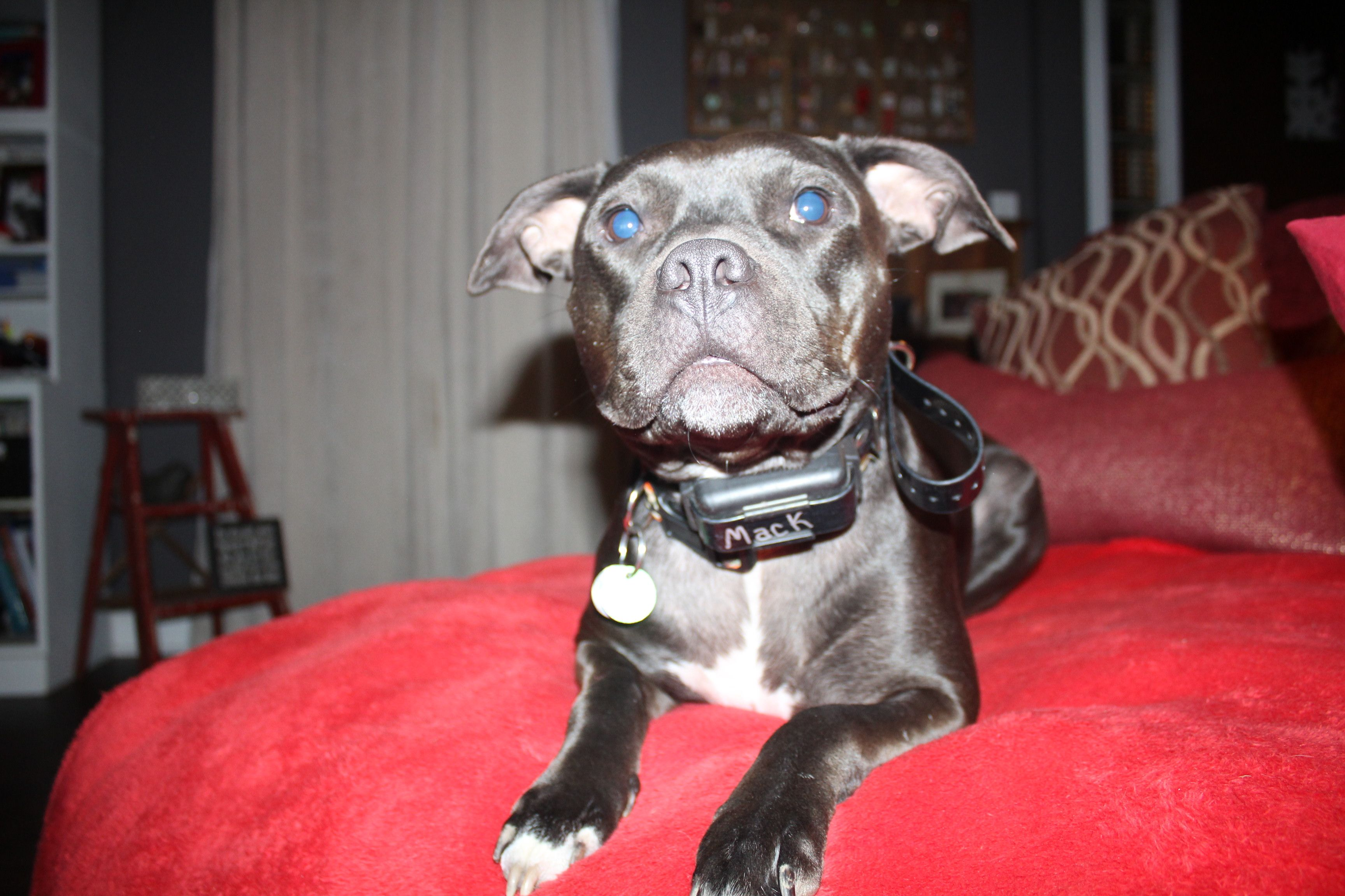 So Handsome 2 3 16 American Staffordshire Terrier