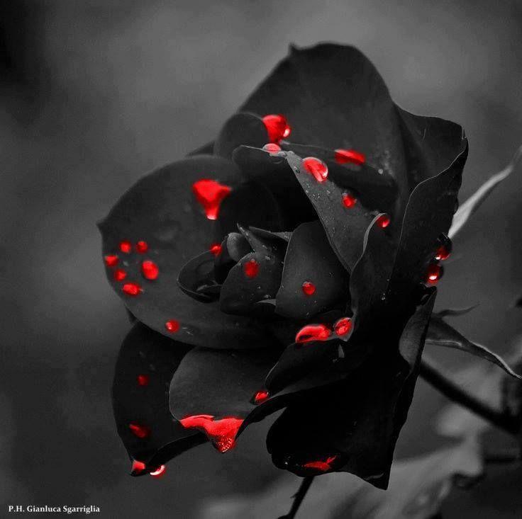 Rp Bleeding Black Rose Roses Rose Black Flowers Flowers