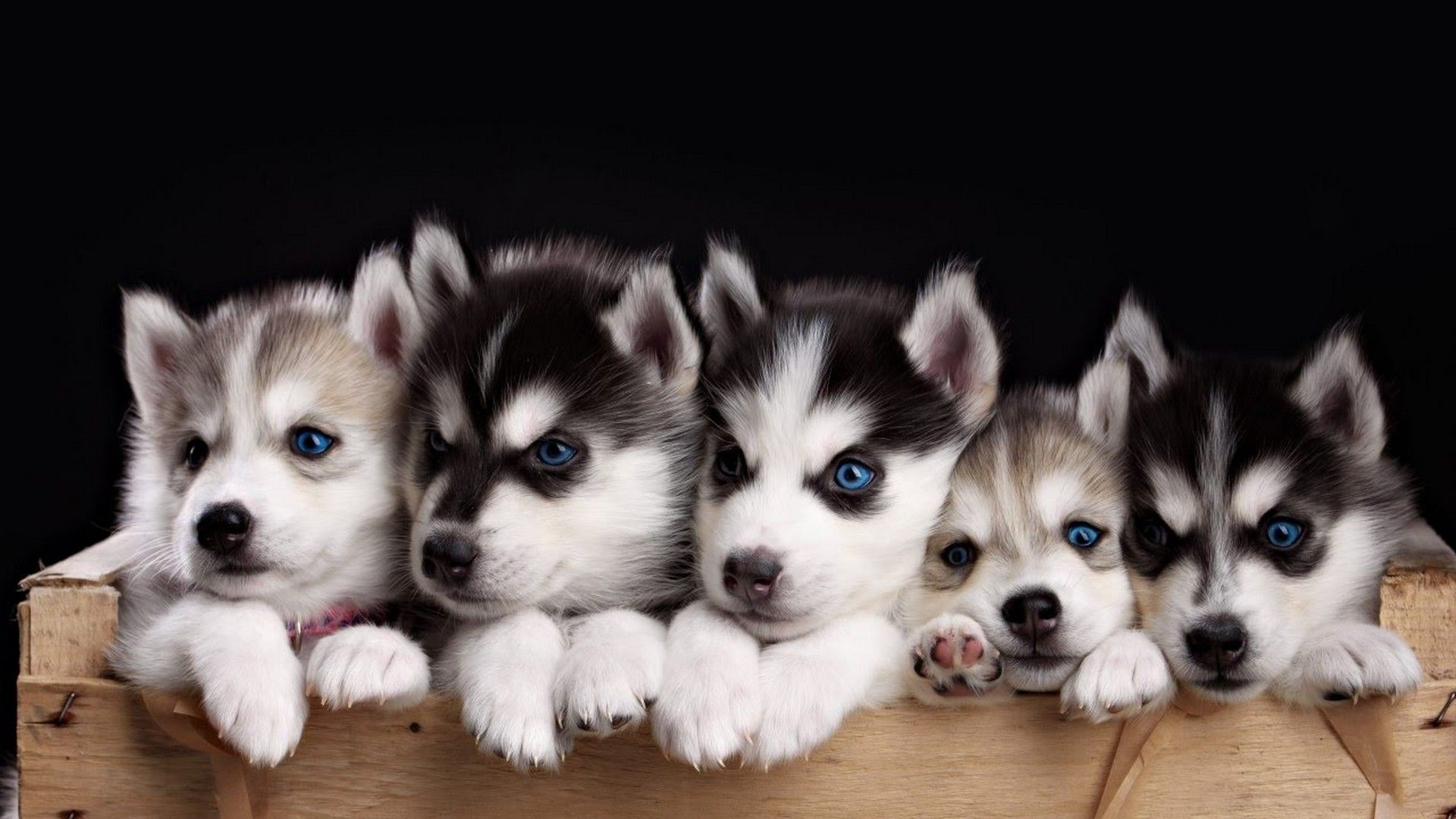 Funny Puppies Desktop Backgrounds Hd Cute Husky Puppies