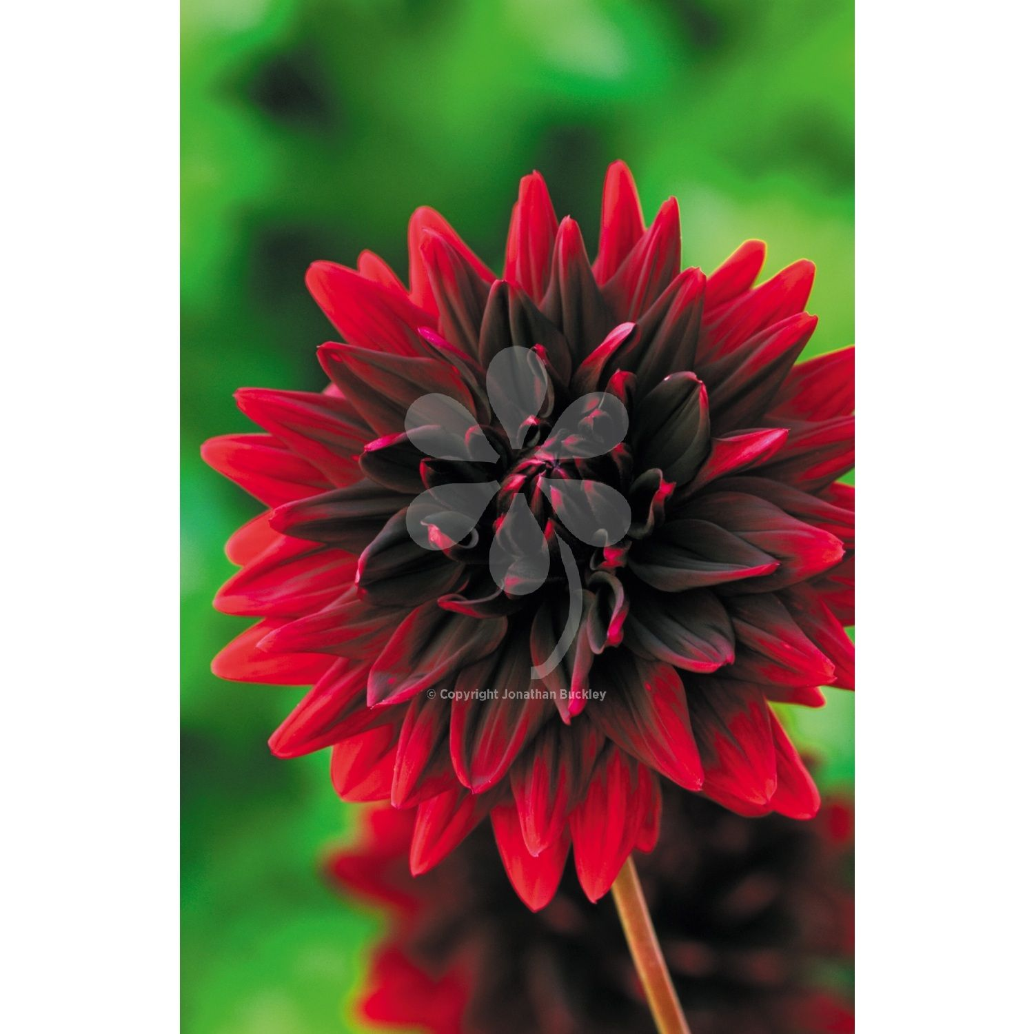 Dahlia sam hopkins in 2018 border pinterest dahlia flowers could be cut from black velvet and even fully open it hardly fades marvellous a first class dahlia flower izmirmasajfo