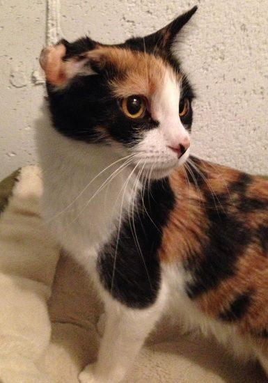 1 Elsa Our Little Frozen Family Came To Us From A Home That Kindly Took In Mother Elsa And Found Themselves With A New Litter O Calico Cat Cat Adoption Cats