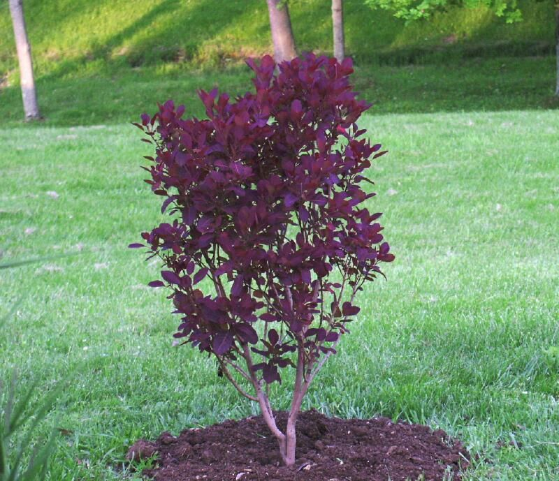 Full Size Picture Of Smoke Tree Royal Purple Cotinus Coggygria Smoke Tree Planting Shrubs Dwarf Trees For Landscaping