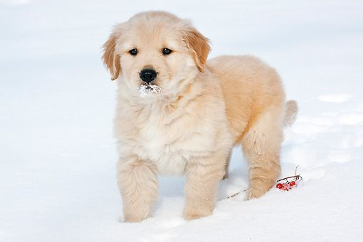 Handsome Golden Retriever In The Snow Retriever Puppy Golden