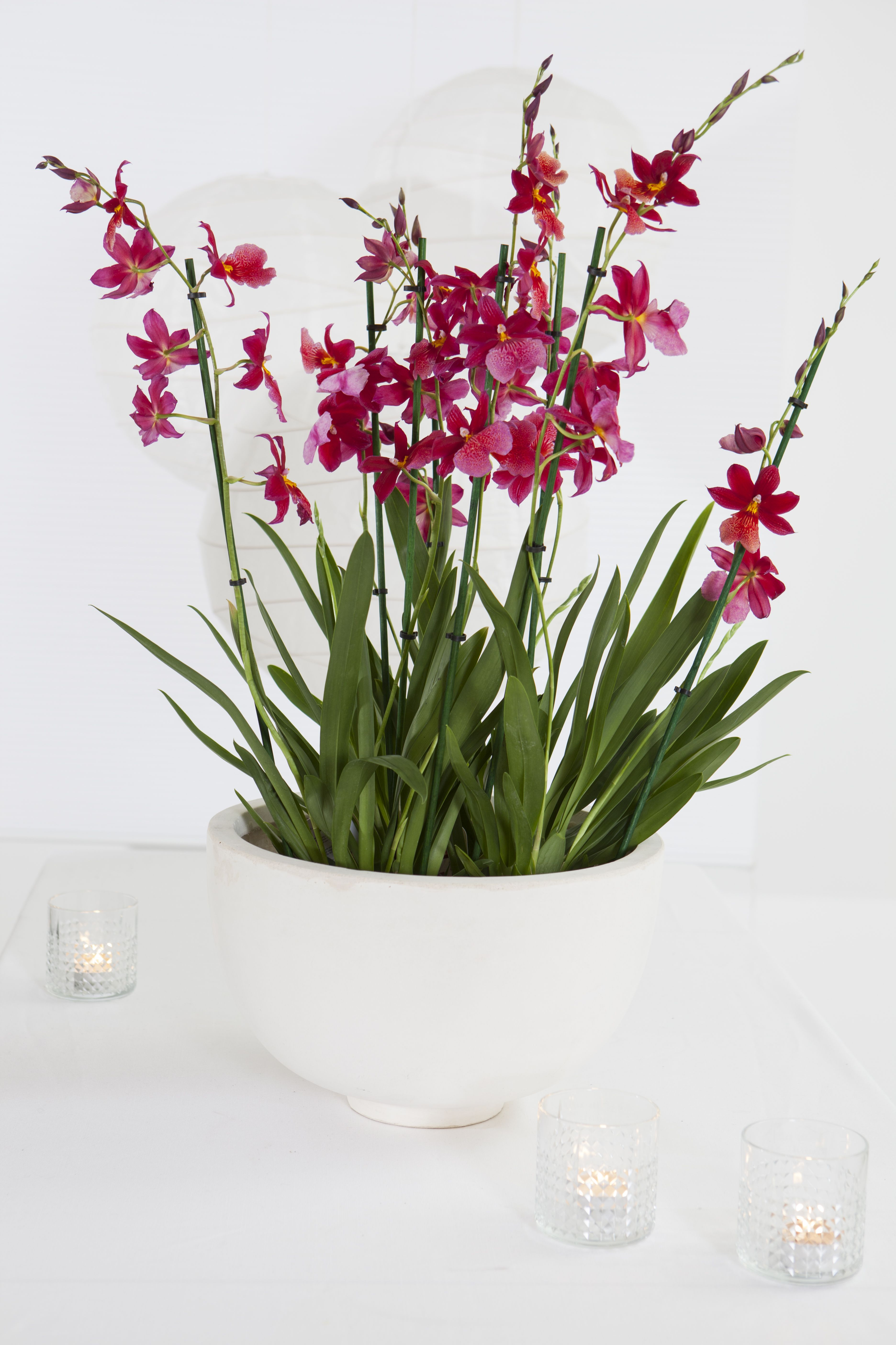 Cambria orkidé