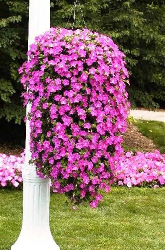 Cascading Petunias Hanging Basket Hanging Garden Plants For