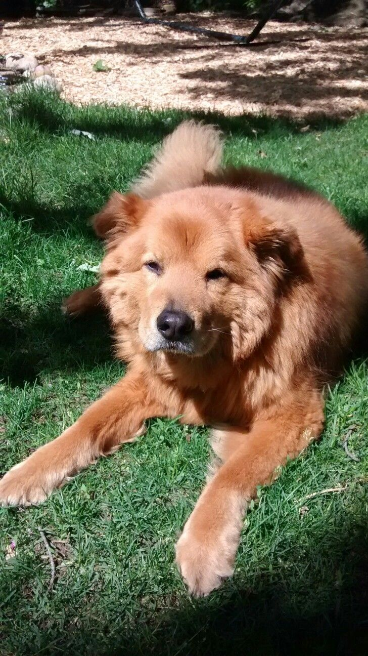 Tin Tin The Best Chow Lab In The World Mixed Breed Chow Chow