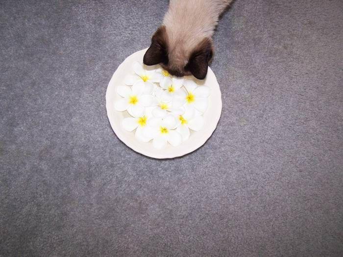 #siamesecat  #felineflashmob  Our siamese cat smelling plumerias.