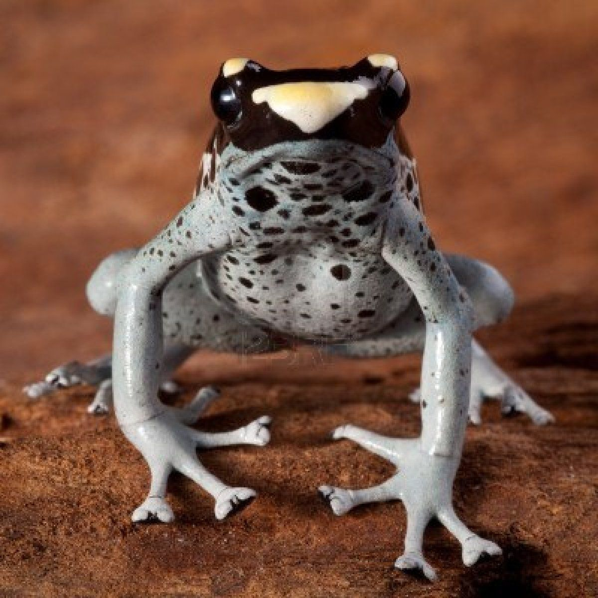 You Re Amazing Animals: Dart Frog Dendrobates Tinctorius, Beautiful Animal Of The