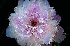 Flor, Peônia, Rosa, Branco, Preto, Verão