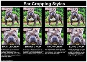 3 Different Styles Of Ear Crops For Your American Bully Bully