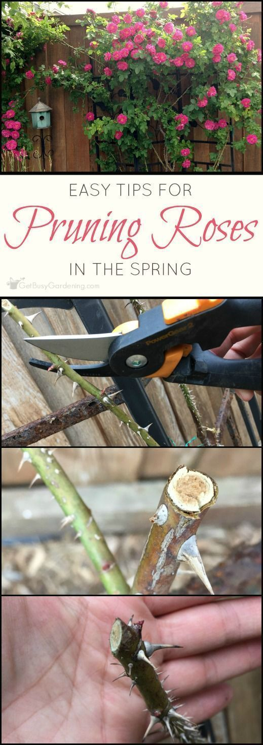 How To Prune Roses 4 Simple Steps To Trim Like A Pro Pruning Roses When To Prune Roses Pruning Roses Spring