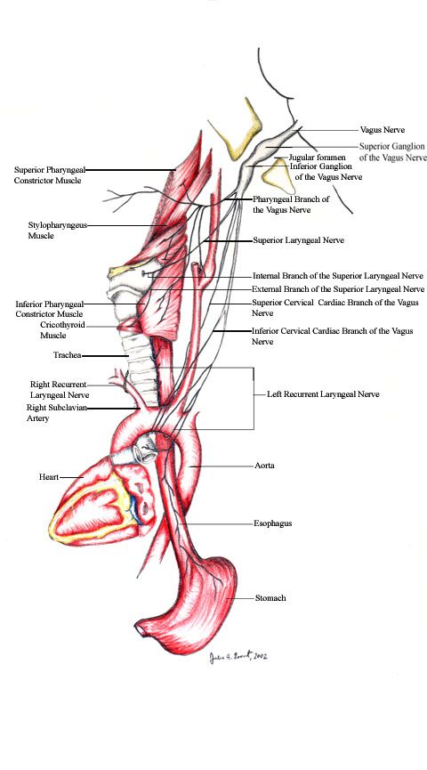 Vagus Nerve Anatomy By Samantha Kraemer Pinterest