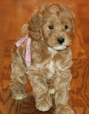 Home Raised Goldendoodle And Labradoodle Puppies In Michigan