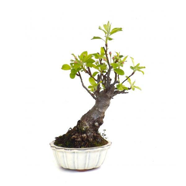 votre professionnel du bonsa en ligne vous pr sente ce bonsai shohin pommier malus cerasifera. Black Bedroom Furniture Sets. Home Design Ideas
