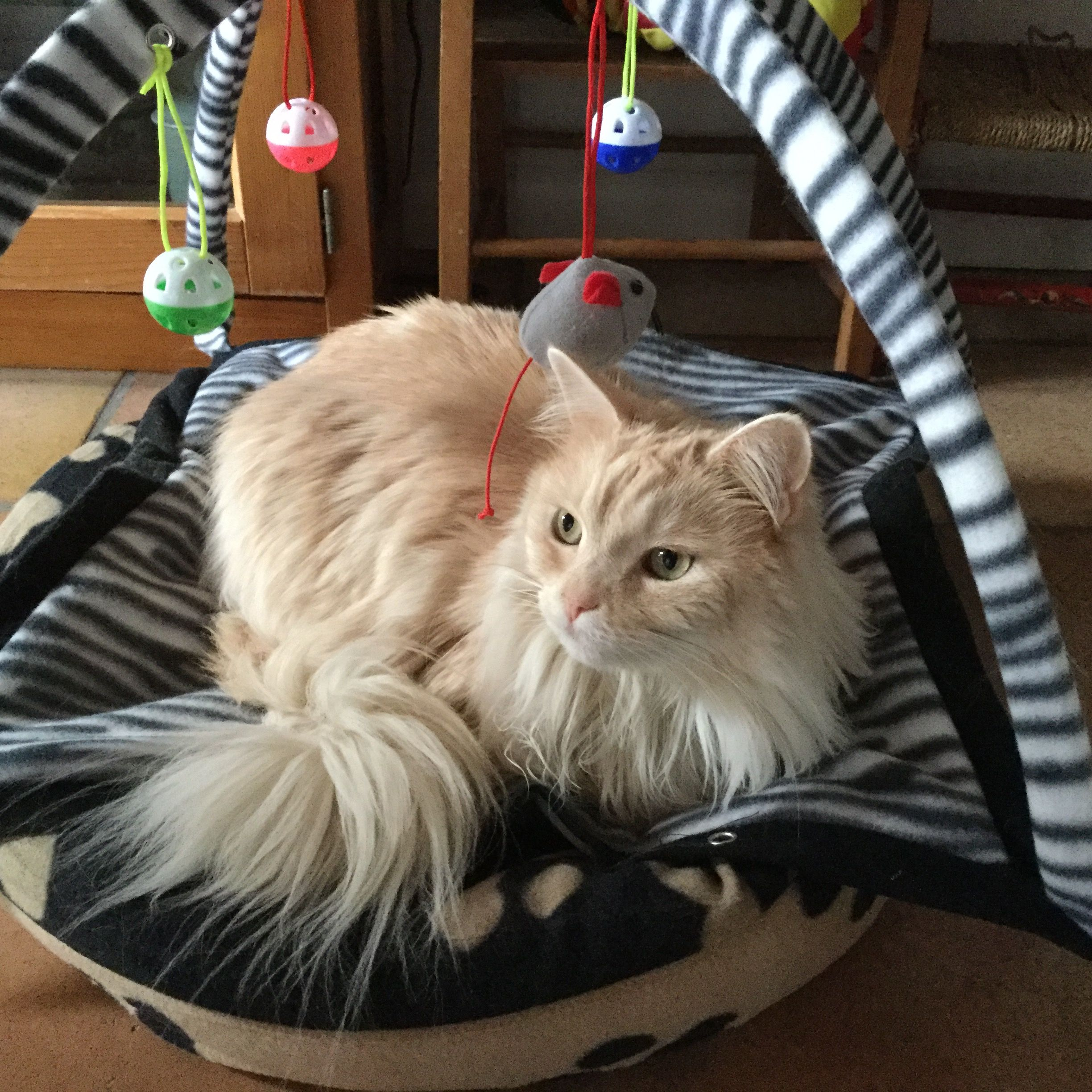 Saartje Furrables Pinterest Maine coon Cat and Maine coon cats