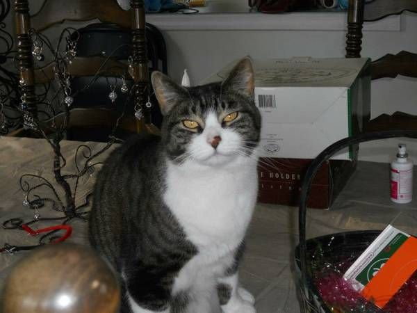 Missing Cat (Colchester) Boretz Road at Beechwood Road