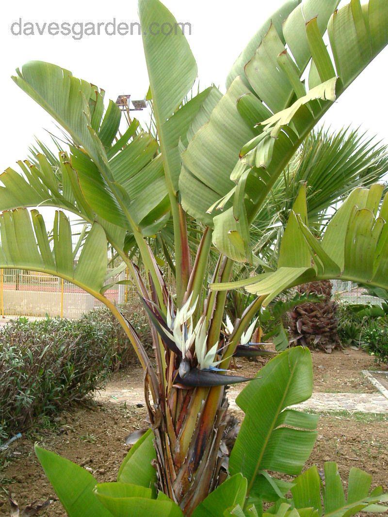 Giant Bird Paradise Seeds