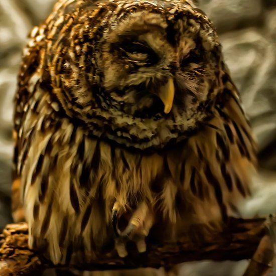 a sleeping barred owl   Barred owl, Owl, Sleep