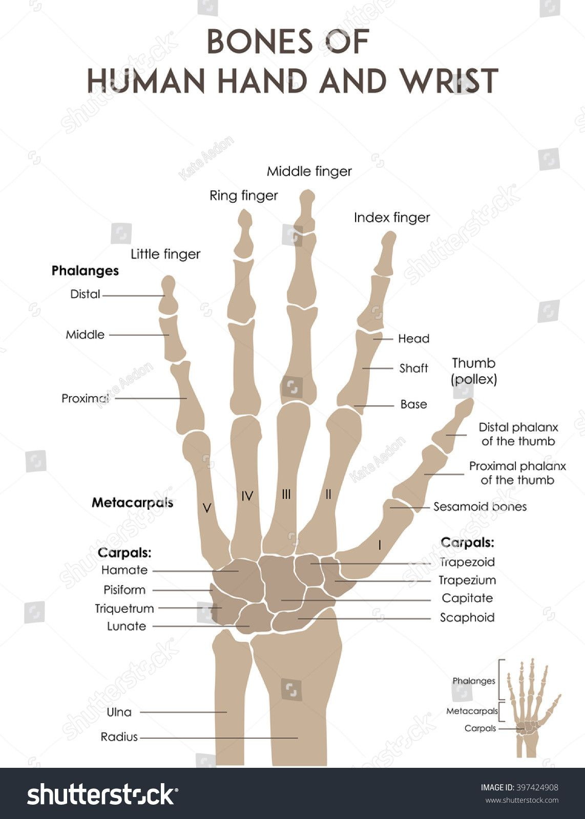 Bones Of The Hand Labeled Fresh Bones Human Hand And Wrist Medically Accurate Vector In 2020