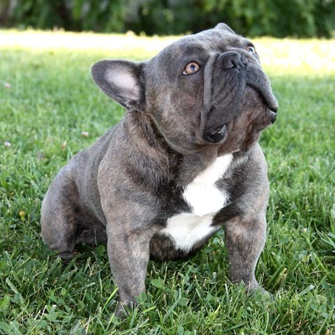 Dogsorb It S Dog Thing Find More About This At Https Www Dogsorb Com Dogsorb Bluefrenchbulldog Bluef French Bulldog Stud French Bulldog Breed Bulldog
