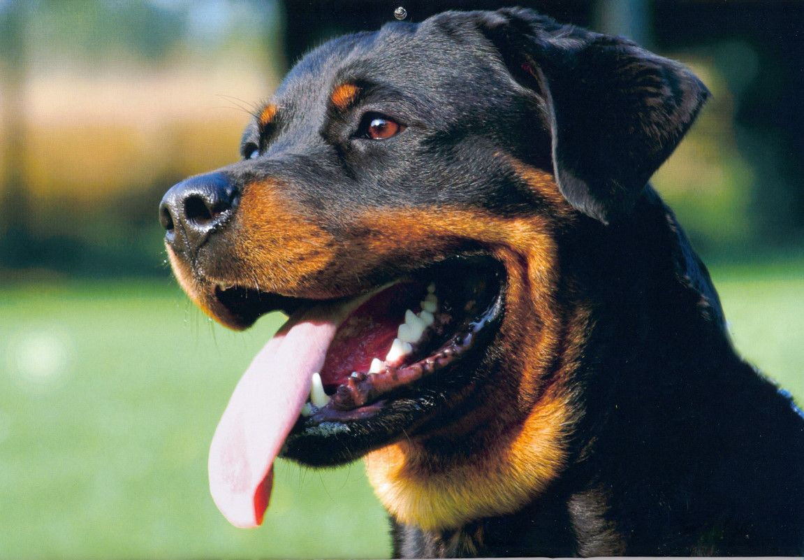 colorful pictures of rotties | Informacion Perros e imagenes Nº21: Rottweiler - Taringa!
