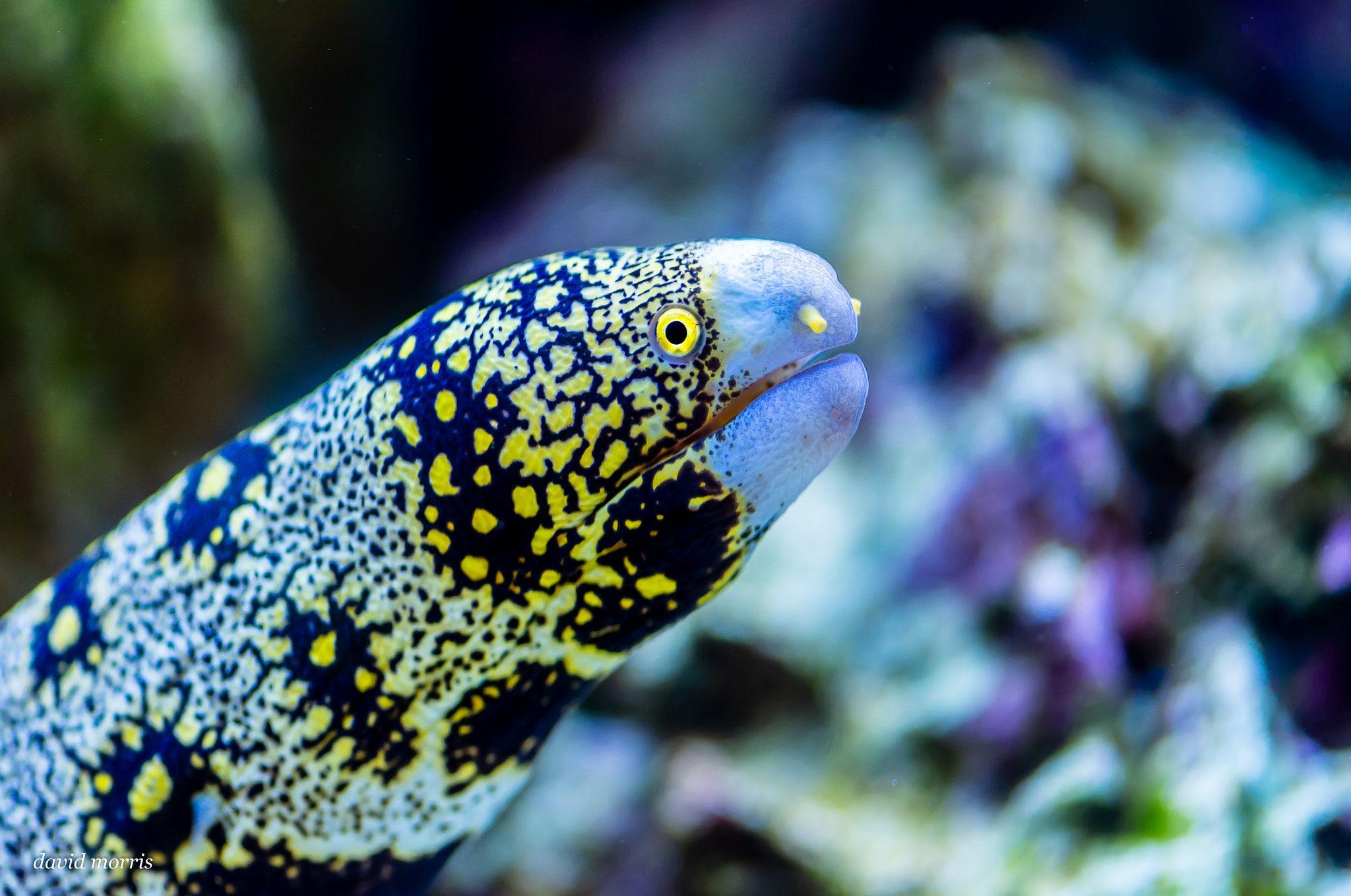 Snowflake Moray Eel Saltwater Fish Tanks Tropical Tanks Saltwater Tank