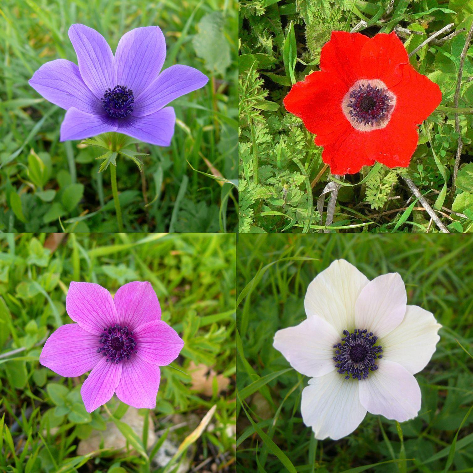 Anemone Coronaria Wikipedia The Free Encyclopedia Anemone Flower Artificial Flowers Decor Anemone