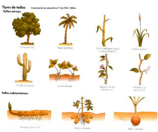 Plantamer Funciones Del Tallo En Las Plantas Plantas Tipos De Plantas Plantas Anuales